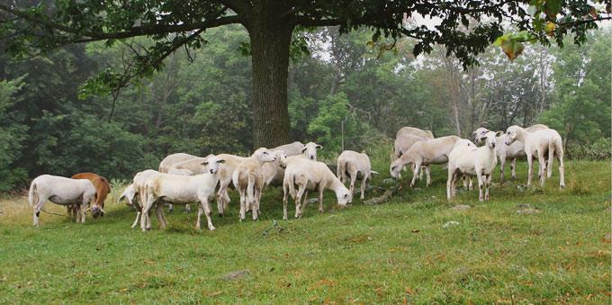 Sheep at Croftland Farm